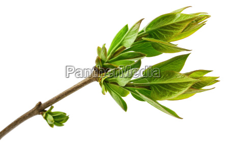 spring tree branch with fresh buds