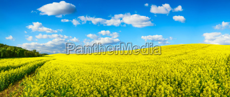 bluehendes rapsfeld panorama