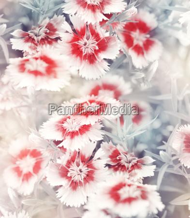 carnation flowers background
