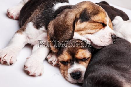 beagle welpen rutschen in vor weissem