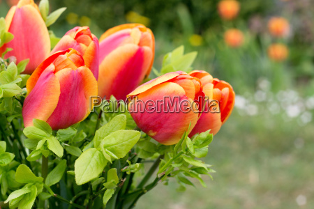 bouquet red yellow tulips flowers early