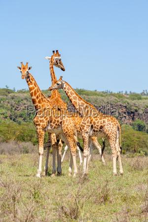 drei giraffen herde in savannah