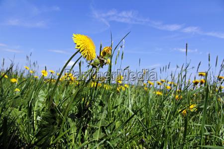in the spring of dandelion flowers