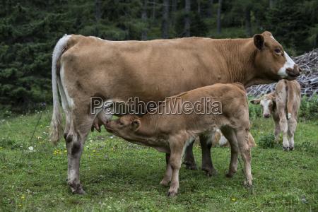 saeugendes kalb und kuh
