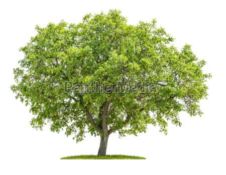 walnussbaum vor einem weissen hintergrund