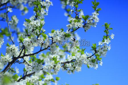 blossoming tree of plum and blue