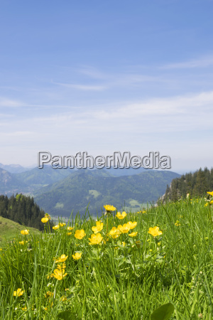 buttercups bavaria alps