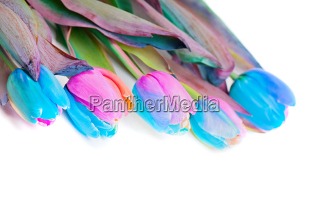 multicolored rainbow tulips for border or