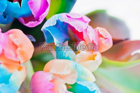 bouquet of multicolored tulips