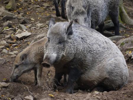 wildschweinfamilie im wald