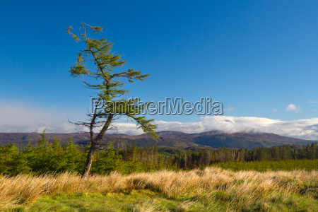 knorriger baum in den highlands schottland