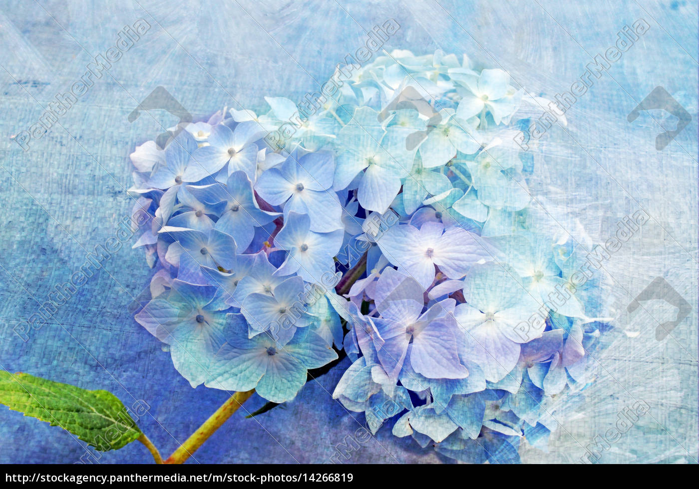 Blaue Hortensie Lizenzfreies Bild 14266819 Bildagentur