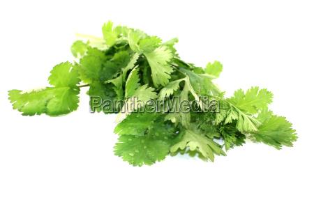 gruenes bund koriander