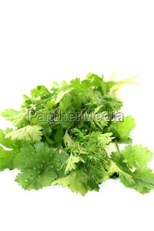 frisches gruenes bund koriander