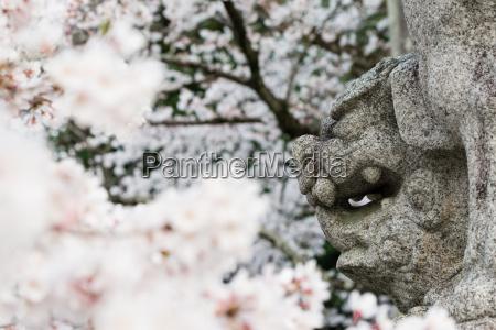 japanischer loewe hund gesicht und kirschblueten