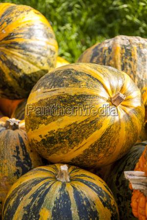 oil lady godiva cucurbita pumpkin kuerbis