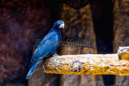schwarz papagei
