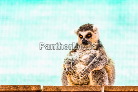 fatty lustig lemur