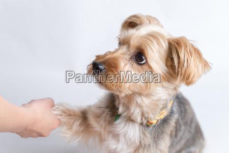 yorkshire terrier geben paw