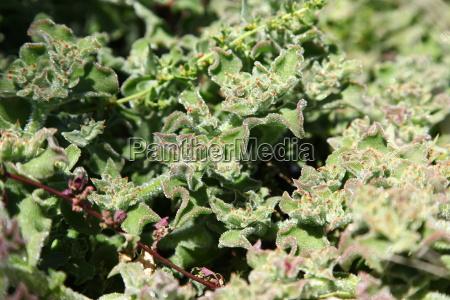 Fuerteventura, Kanarischen Inseln, Kanaren, Pflanze, Pflanzen, Blume - 14295839