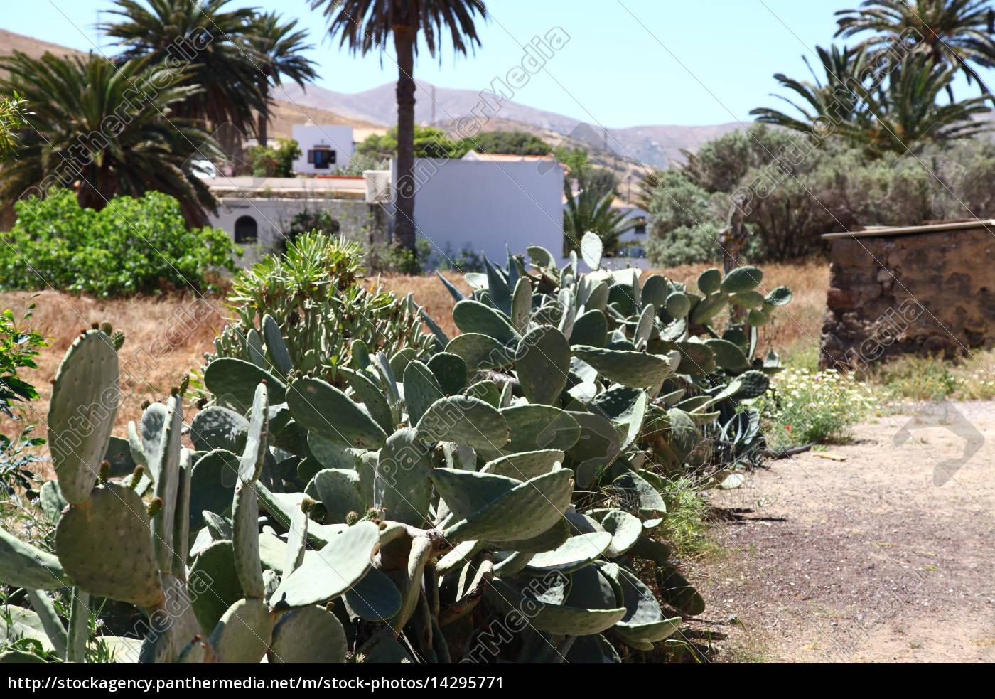 Kaktus, Kakteen, Fuerteventur, Pflanze, Pflanzen, Dornen - 14295771
