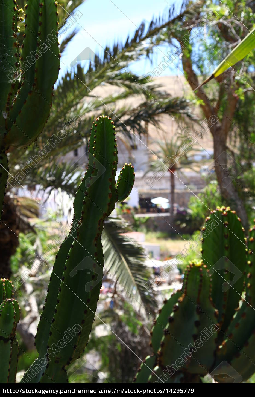 Kaktus, Kakteen, Fuerteventur, Pflanze, Pflanzen, Dornen - 14295779