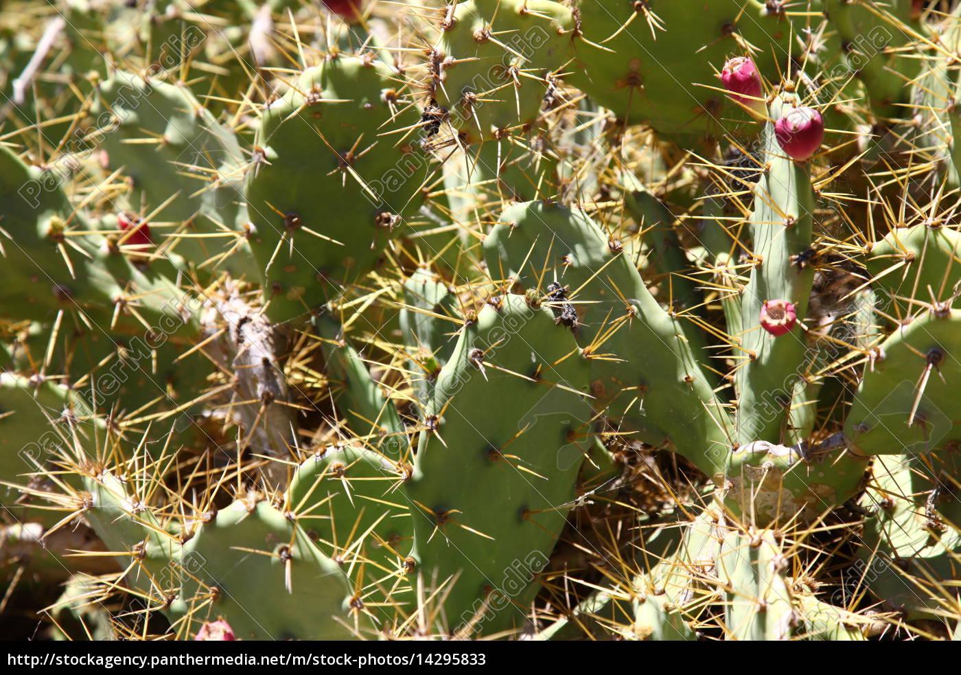 Kaktus, Kakteen, Fuerteventura, Pflanze, Pflanzen, Dornen - 14295833