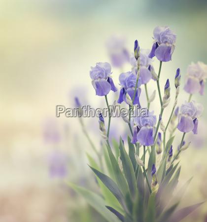 iris flowers
