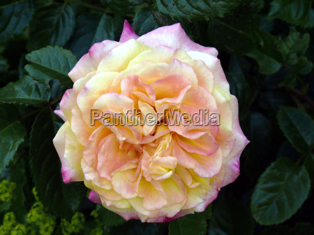 rose 9