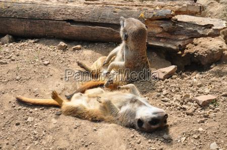 erdmaennchen suricata suricatta