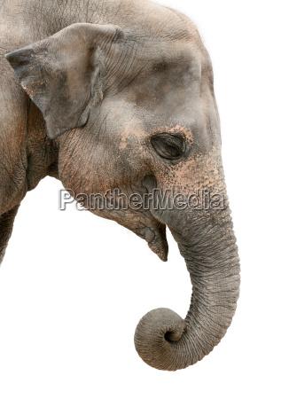profile portrait of an asian elephant