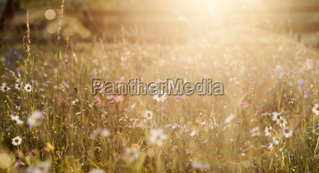 sommerwiese voll mit gaensehaut nach regen