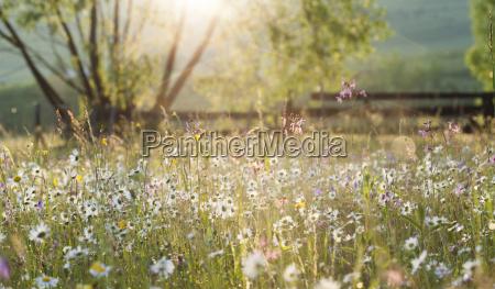sommer wiese voll mit gaensebluemchen nach
