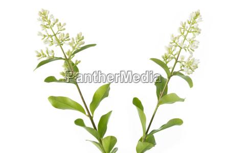 flowering liguster ligustrum