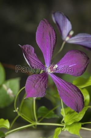 violett blossom