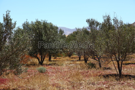 olive olives olive tree plant plants