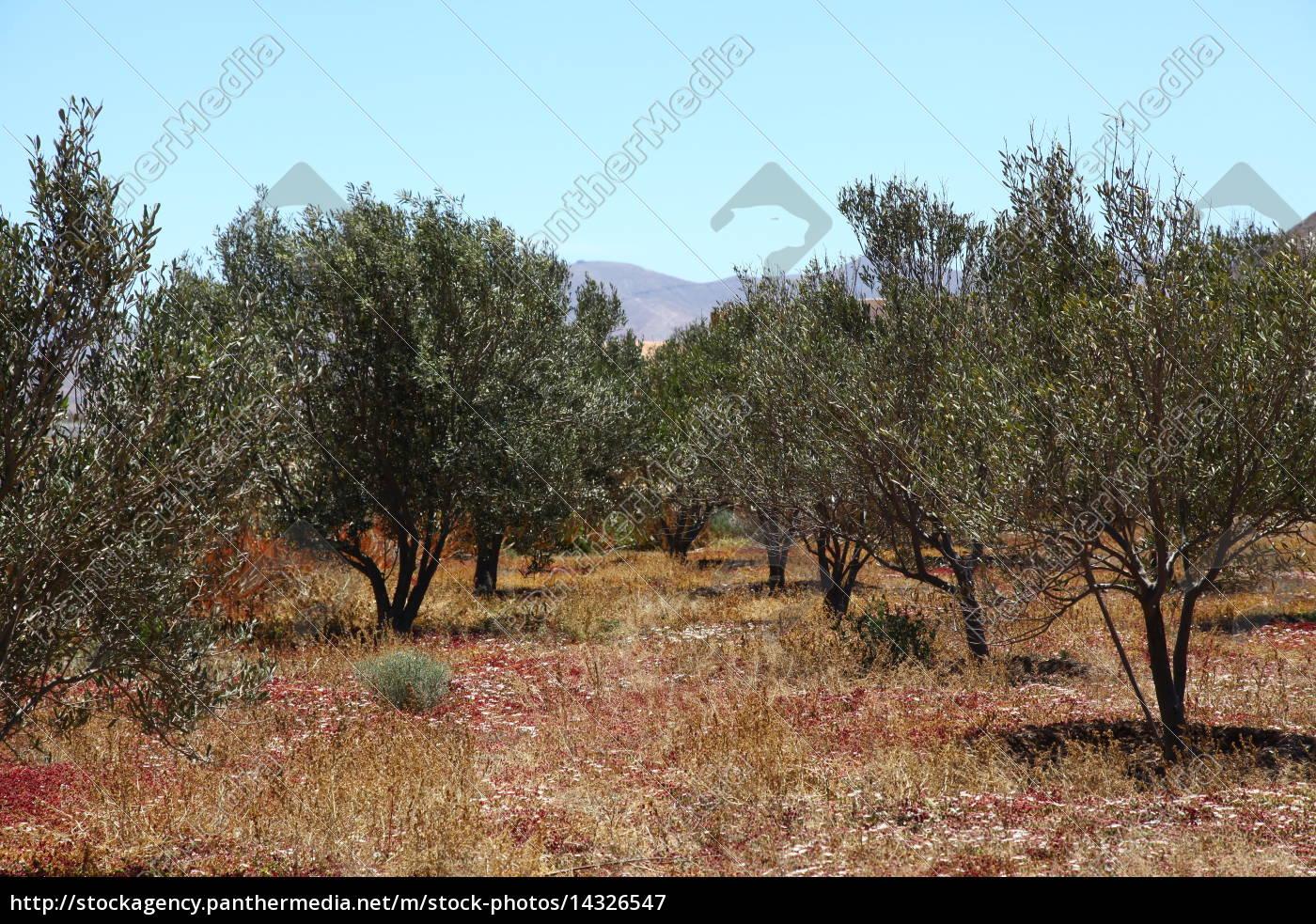 Fuerteventura, Kanarischen Inseln, Pflanze, Pflanzen, Olive, Oliven - 14326547