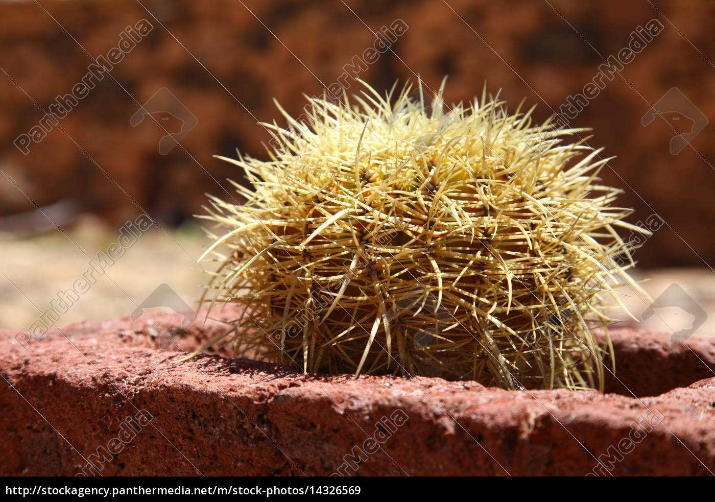 Kaktus, Kakteen, Fuerteventura, Kanarischen Inseln, Pflanze, Dornen - 14326569