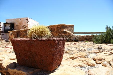 Kaktus, Kakteen, Fuerteventura, Kanarischen Inseln, Pflanze, Dornen - 14326575
