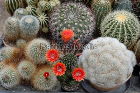 echinopsis with red flowers in the