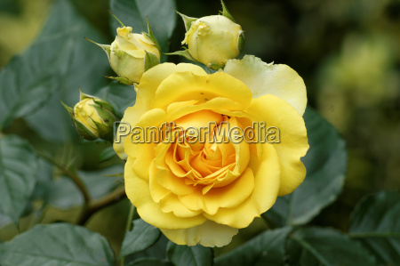 yellow rose bloom with buds