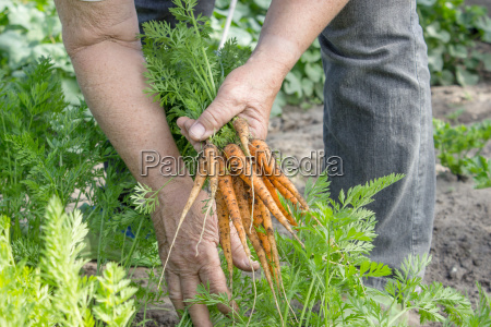 carrots are harvested in a garden