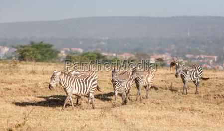 zebras in den wiesen