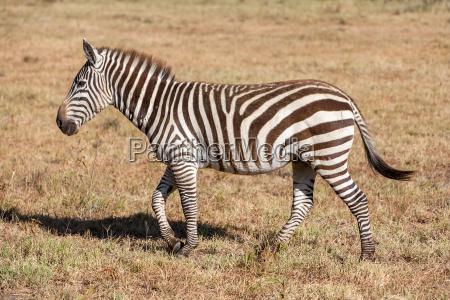 zebra im grasland