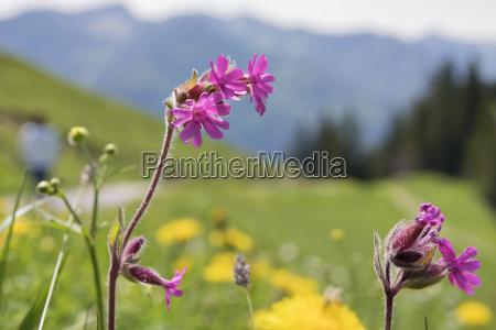 wild flower breitenstein bavaria alps