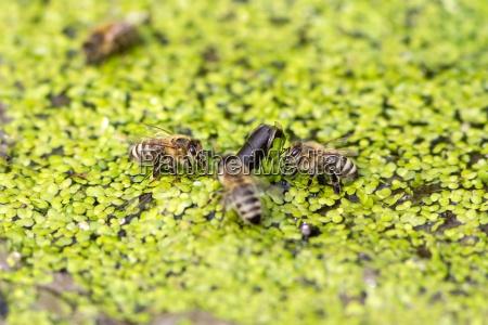 trinkende honigbienen auf kleinen wasserlinsen