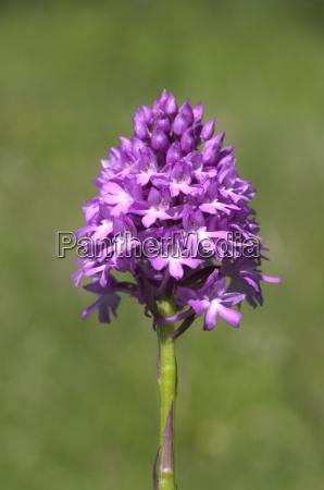 pyramidenorchidee pyramiden orchidee anacamptis pyramidalis