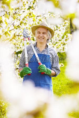 gardener pruning cherry tree blossoms sun