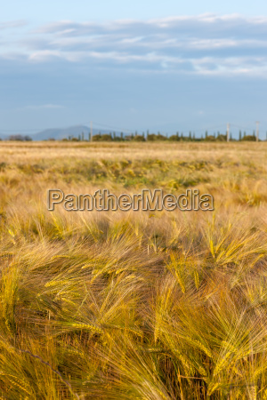 wheat growing in green farm field