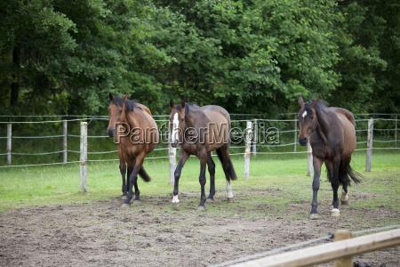 drei holsteiner pferde